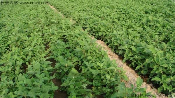 牛膝种子发芽出苗图片