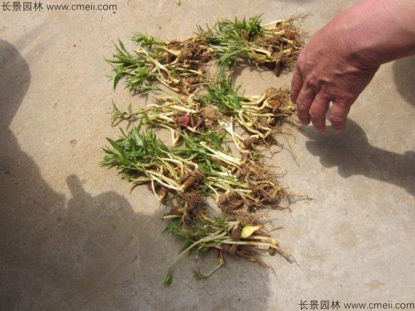 毛桃种子发芽出苗图片