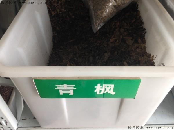 青枫种子图片
