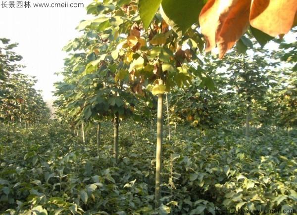 青桐种子发芽出苗图片