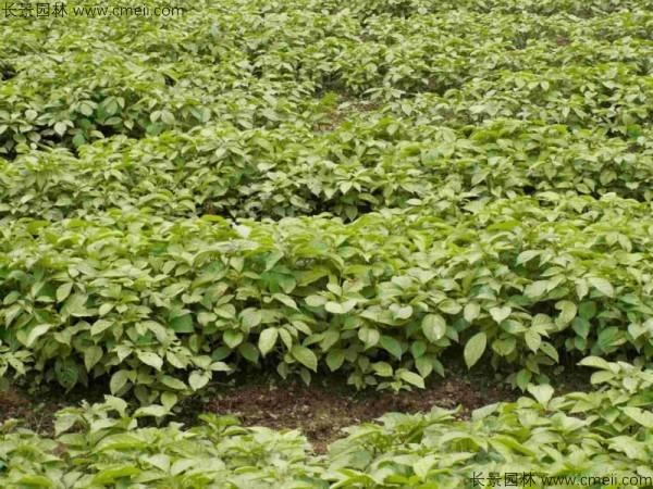 秋枫种子发芽出苗图片