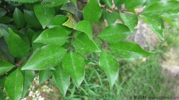 日本女贞树叶图片