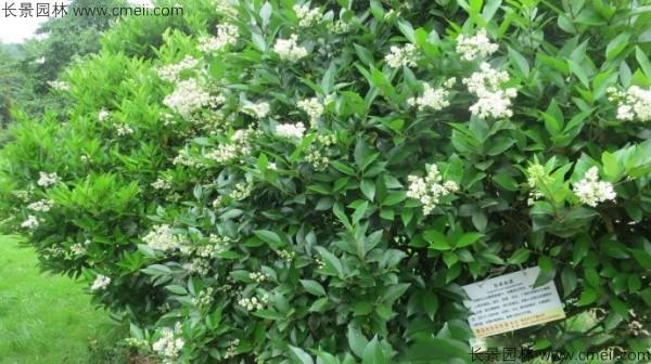 日本女贞种子发芽出苗图片