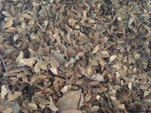 三角枫种子图片