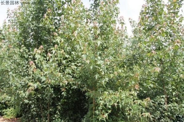 三角枫种子发芽出苗图片