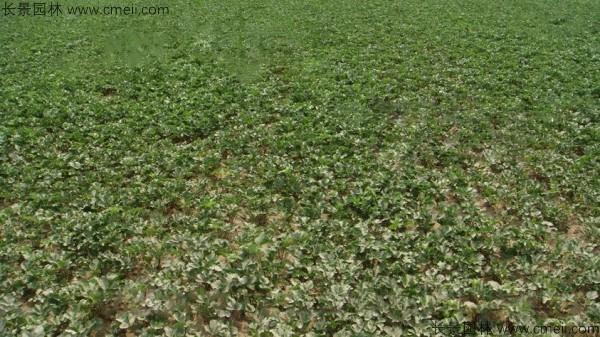 沙参种子发芽出苗图片