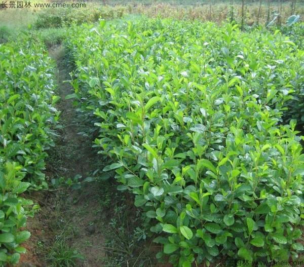 桤木种子发芽出苗图片