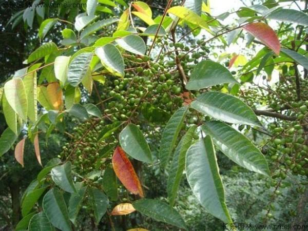 漆树种子图片