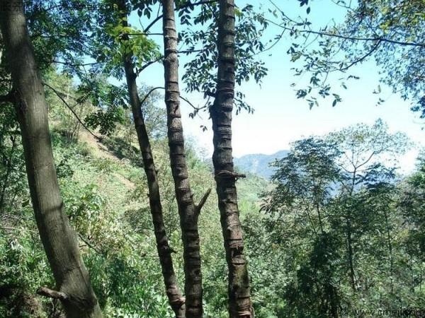 漆树种子发芽出苗图片