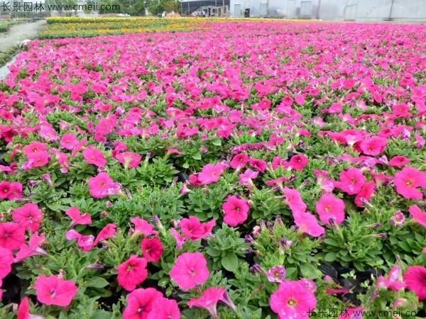 牵牛花种子发芽出苗开花图片