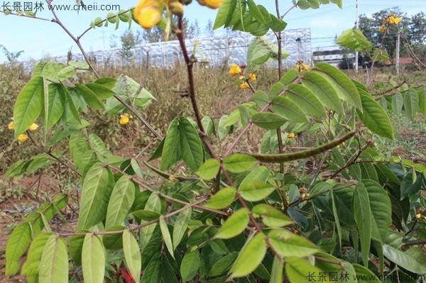 蛇灭门种子开花发芽出苗图片