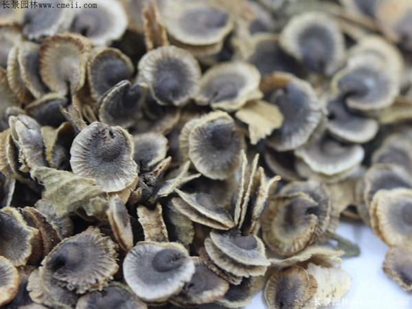 蜀葵种子图片