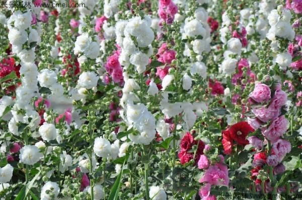 蜀葵开花图片