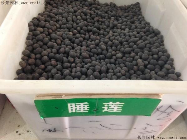 睡莲种子图片