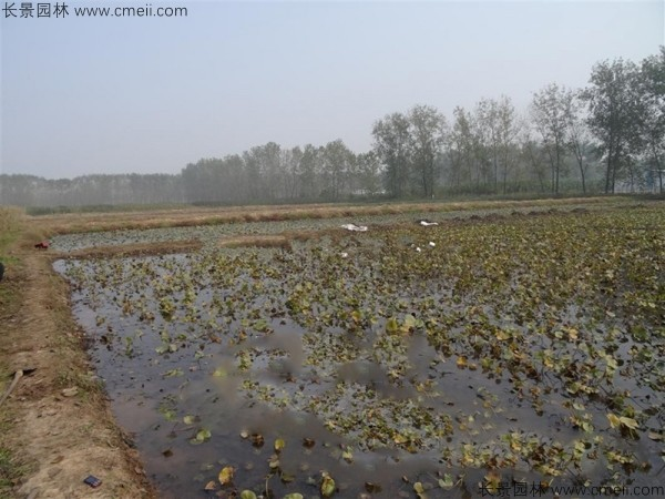 碗莲池塘种植基地图片