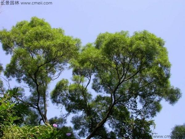 台湾相思树开花图片