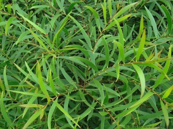 台湾相思树种子发芽出苗图片
