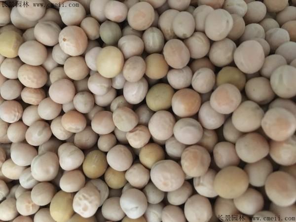豌豆种子图片