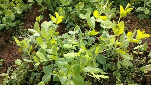 豌豆种子发芽出苗图片