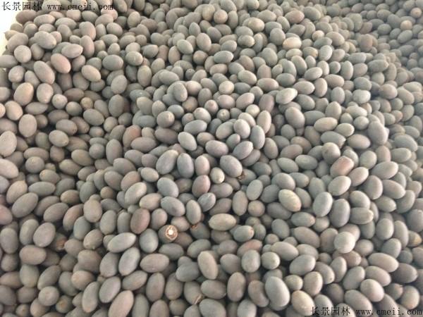 碗莲种子图片