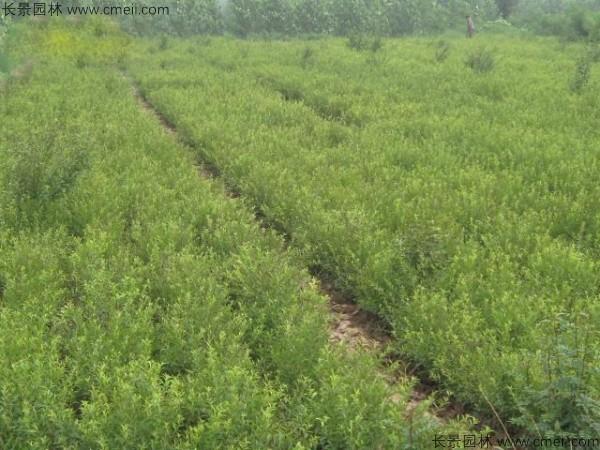 文冠果种子发芽出苗图片