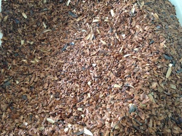 香椿种子图片
