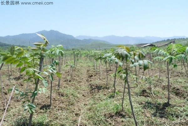 香椿种子发芽出苗图片