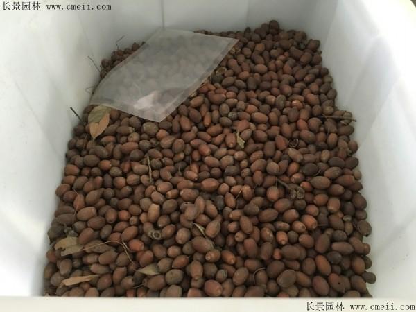 橡树种子图片