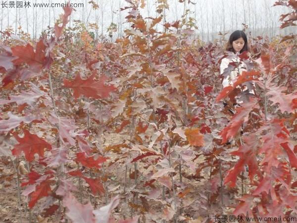 橡树种子发芽出苗图片