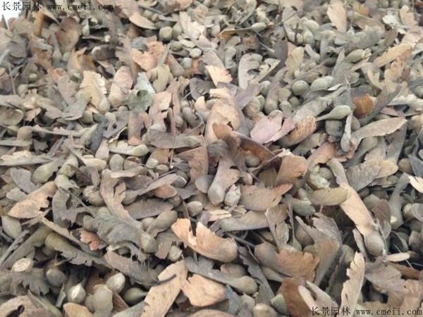 血皮槭种子图片