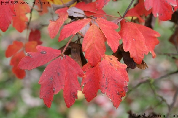 血皮槭树叶图片