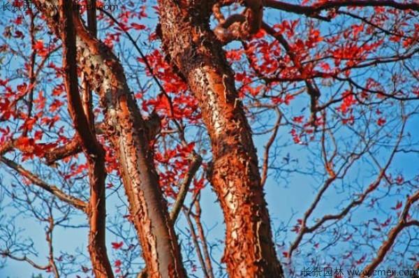 血皮槭树干树皮图片