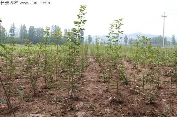 血皮槭种子发芽出苗图片