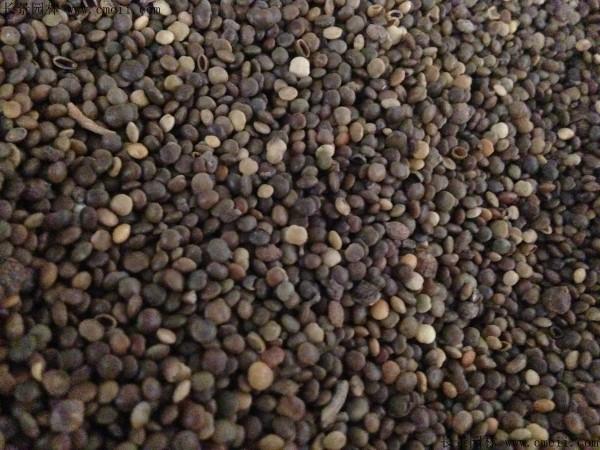 盐肤木种子图片