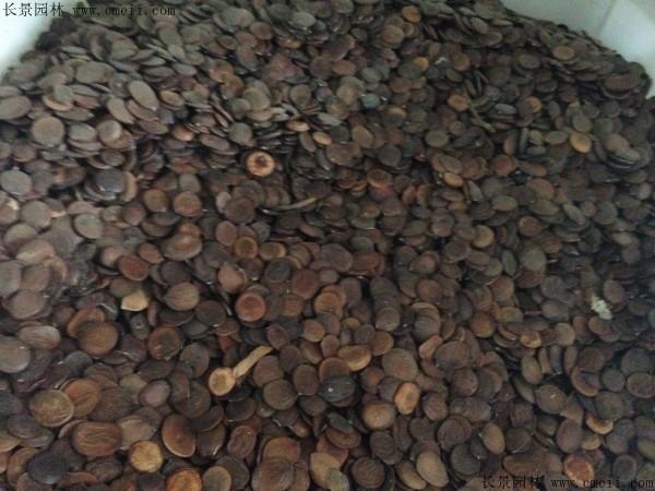 羊蹄甲种子图片