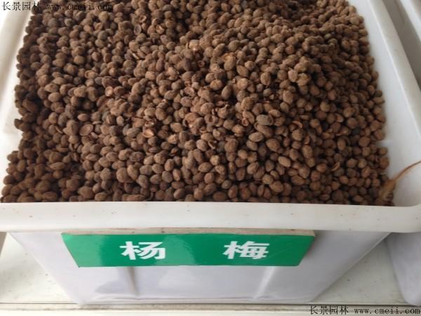 杨梅种子图片