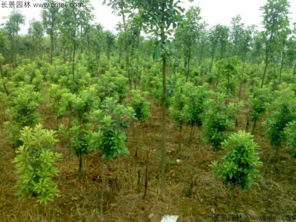 杨梅种子发芽出苗图片