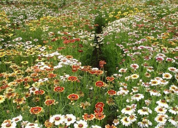野菊花开花图片