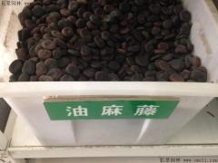 油麻藤种子