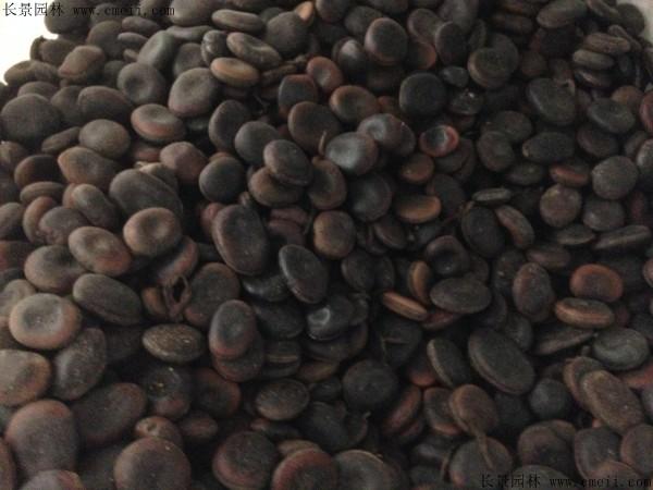 油麻藤种子图片