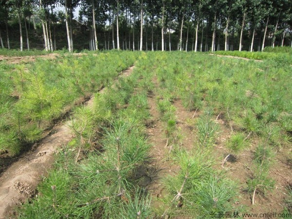 油松种子发芽出苗图片