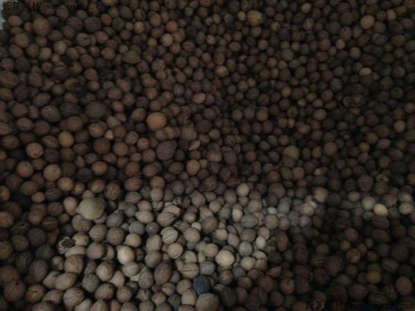 榆叶梅种子图片