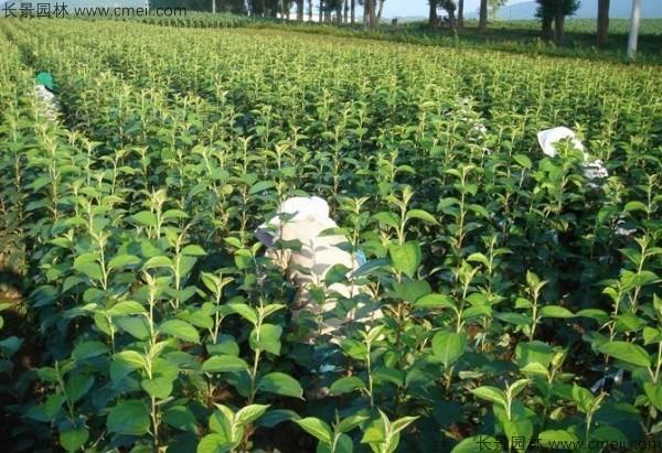 榆叶梅种子发芽出苗图片
