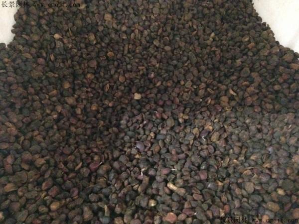 白玉兰种子图片