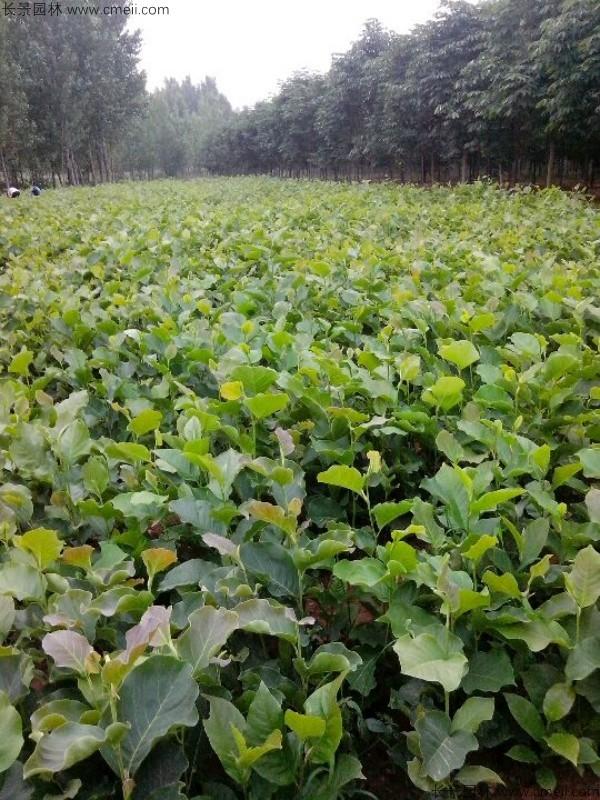 白玉兰种子发芽出苗图片