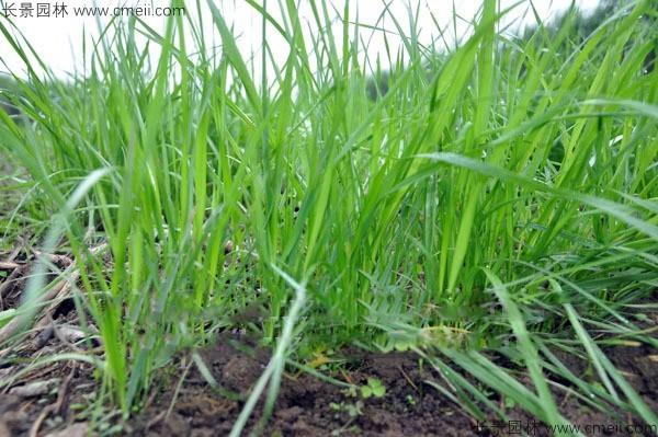 冬牧70黑麦种子发芽出苗图片
