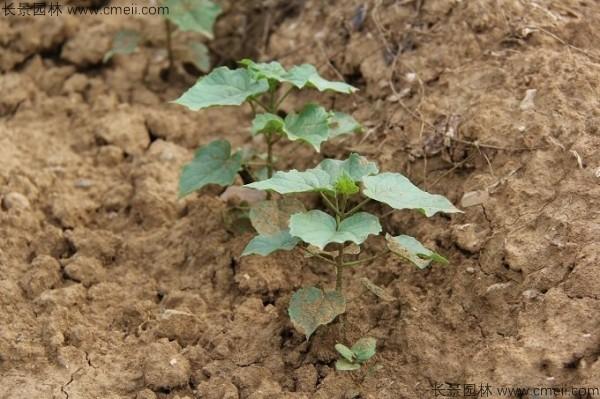 梓树种子发芽出苗图片