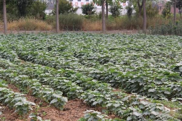 10月可以播种梓树吗