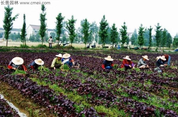 紫苏种子发芽出苗图片