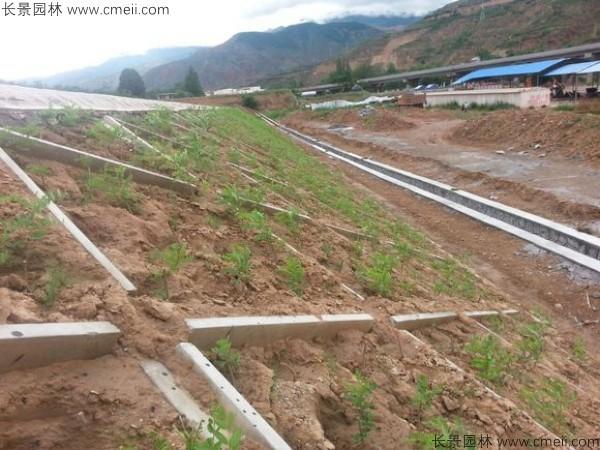 紫穗槐苗护坡绿化施工图片